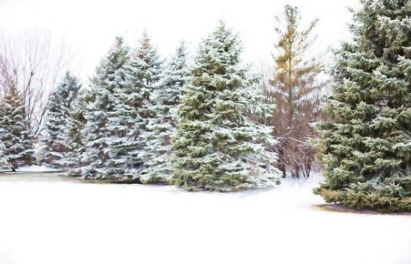 Cut Your Own Christmas Trees – Helpful Tips on How to Choose, Cut, and Prolong the Life Of the Tree
